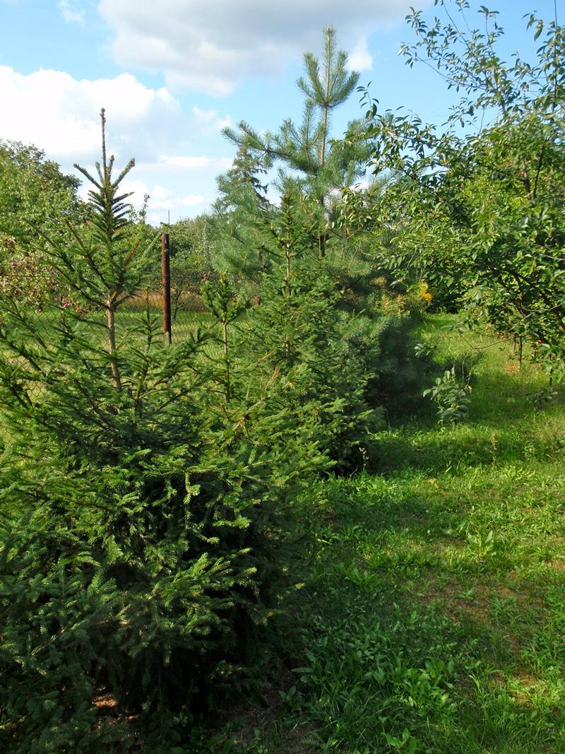 drzewa-moje-u-henka-sierpien-2016
